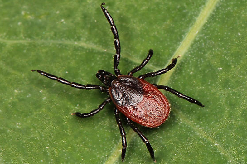 Western Blacklegged tick